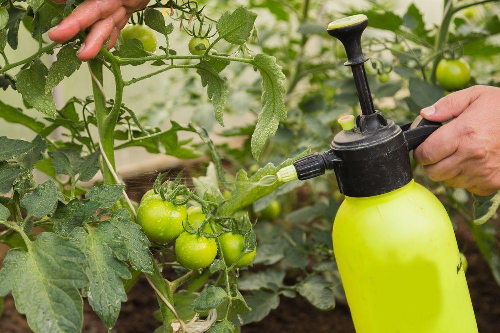 9 способов увеличить урожай помидоров
